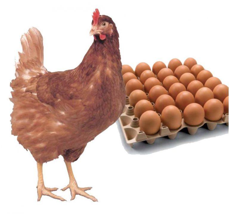 ไก่สาวพร้อมไข่